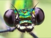 Libellenaugen - Gebänderte Prachtlibelle - Calopteryx splendens