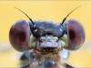 Gemeine Weidenjungfer - Lestes viridis