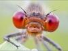Libellenaugen - Granatauge